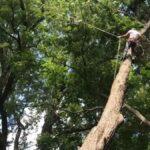 Zkušený dřevorubec si při kácení stromu hraje na Tarzana!